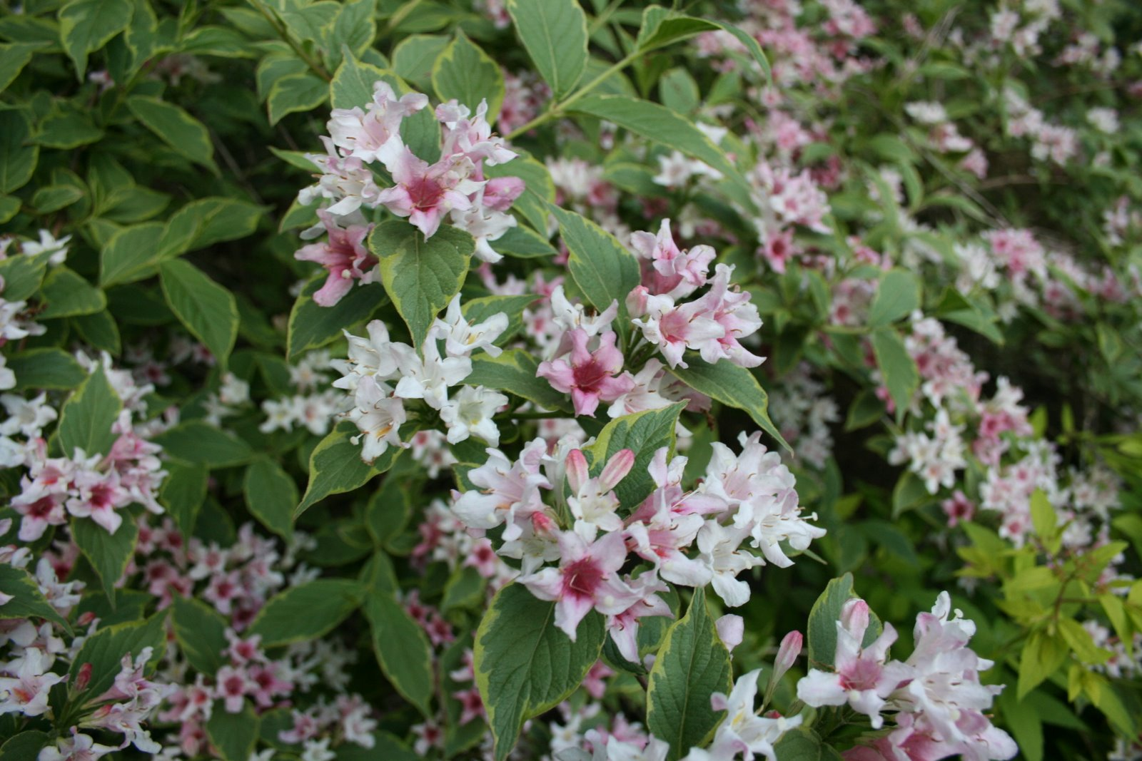 Weigela Pink And White Spring Flowering Shrub On Goldberry Hill