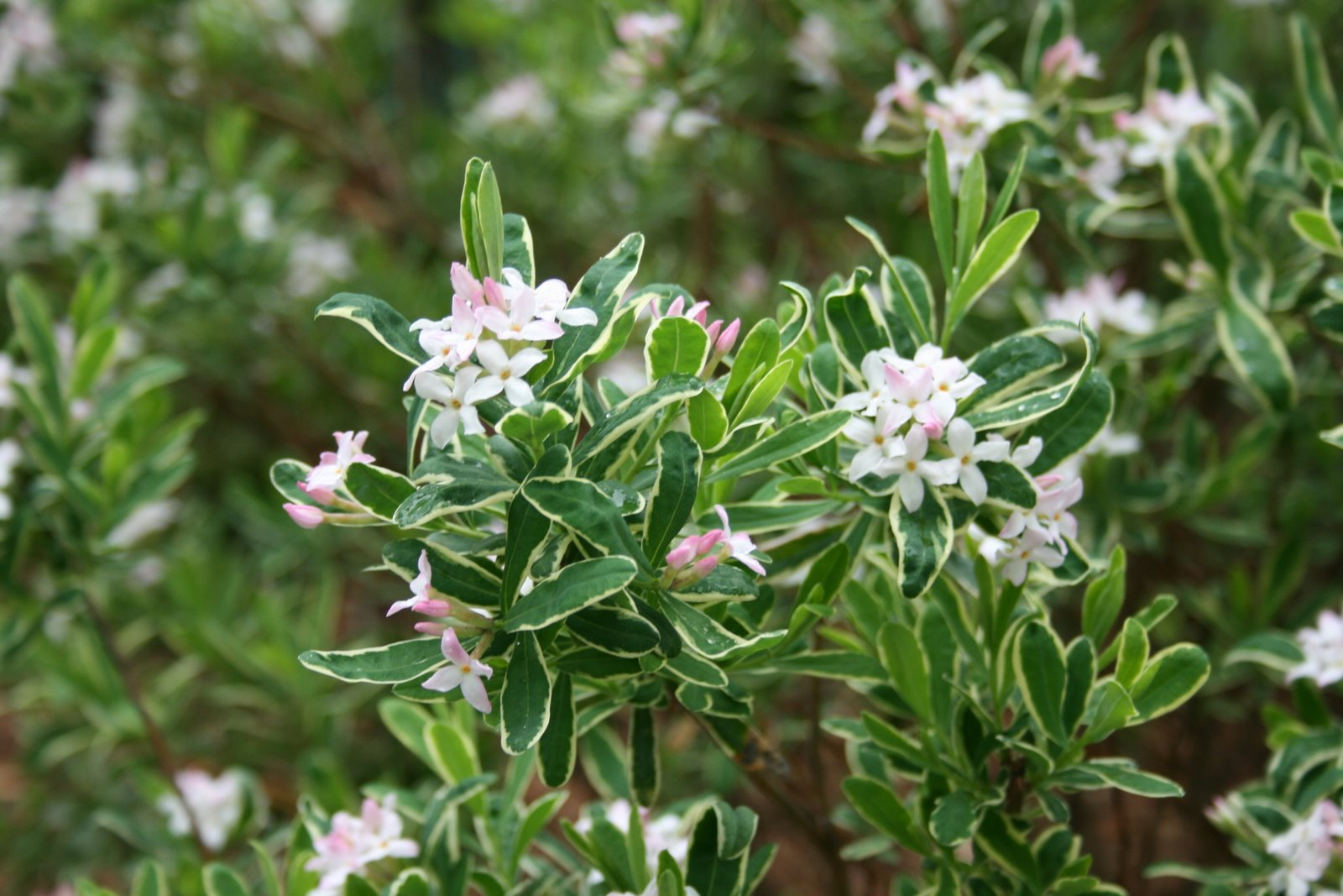 Variegated Daphne In Bloom A Fragrant Flowering Shrub With